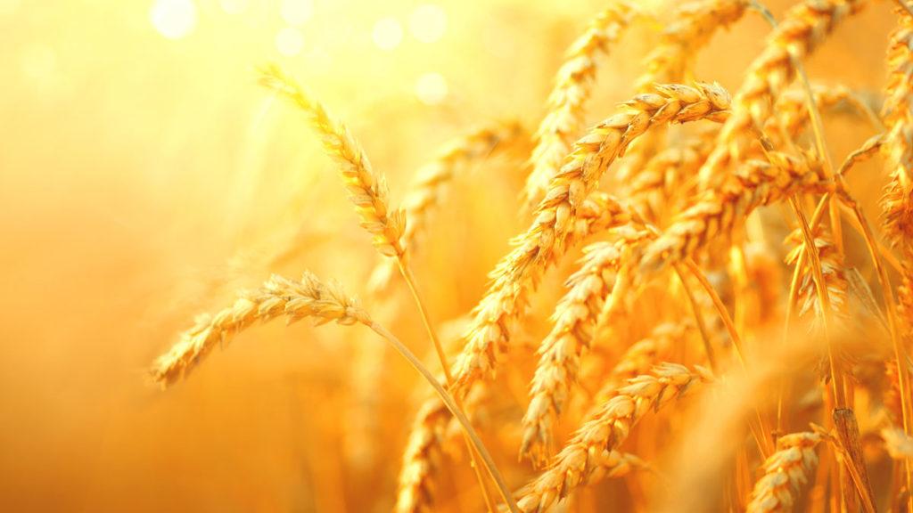 Golden grains in sunlight.